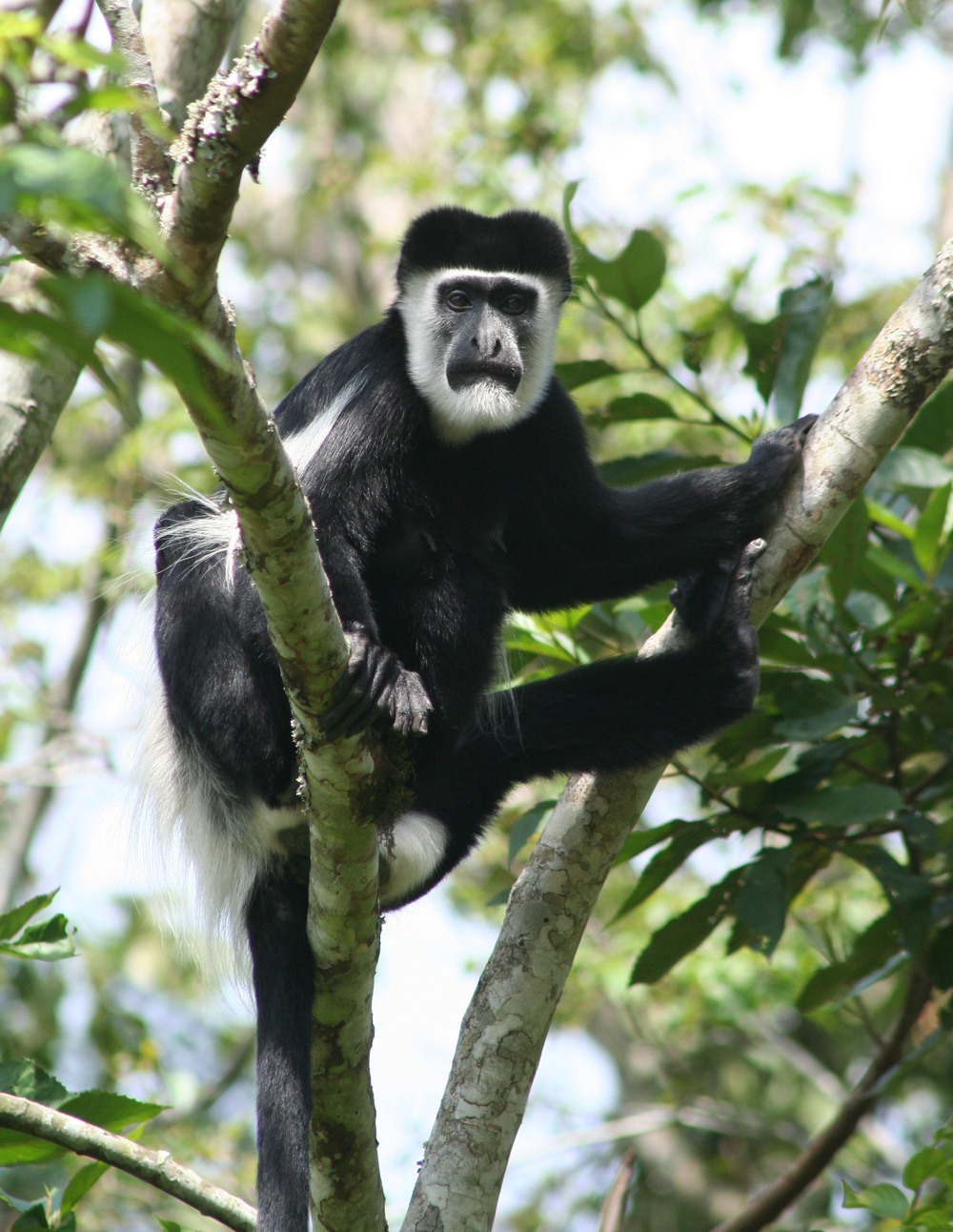 A Black and White Colobus Monkey From Kibale National Park, Uganda