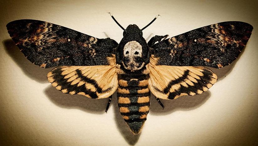 3Death-Head-Moth.jpg