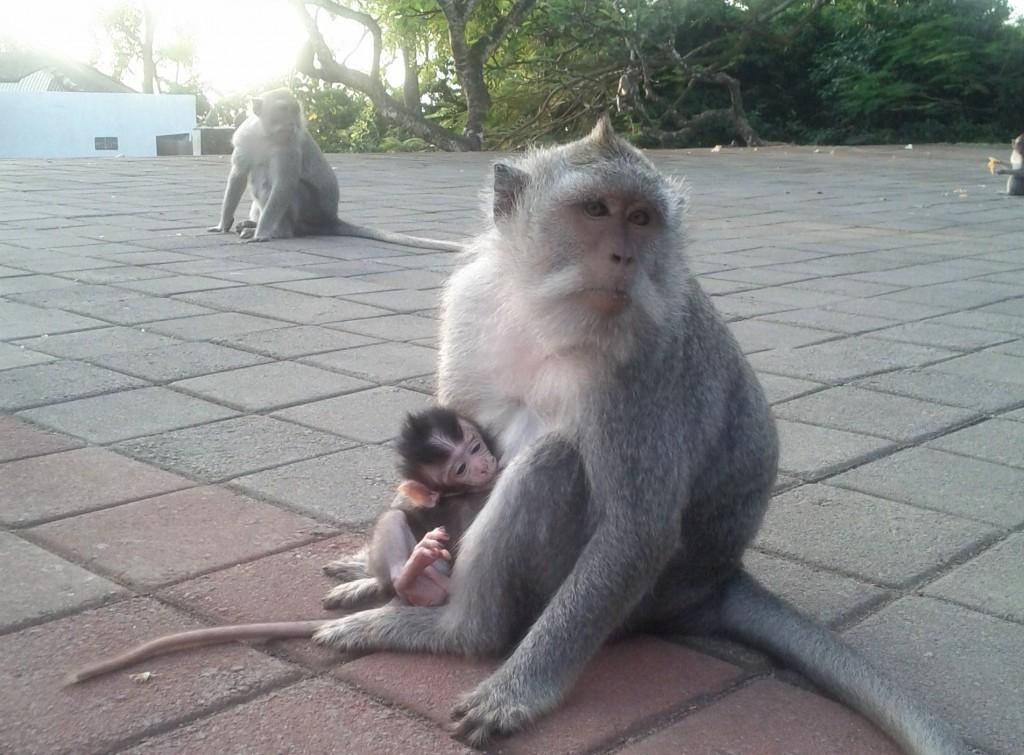 Uluwatu Monkeys - Bali