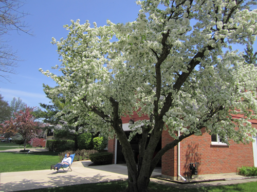 The author's grandmother enjoying spring with the sentinel crabapple tree in full bloom in 2011.