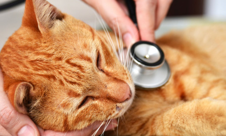 This kitty is sick. But don't worry because there is a stethoscope. Bonus human mammal hands.