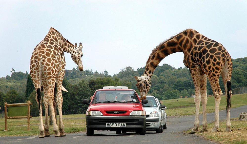Giraffes_at_west_midlands_safari_park.jpg
