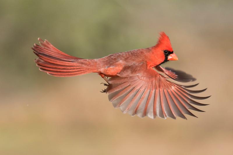Cardinal-Northern-male-flight-Laguna Seca Ranch-Edinburg TX-20160220-01-PS-1-L.jpg