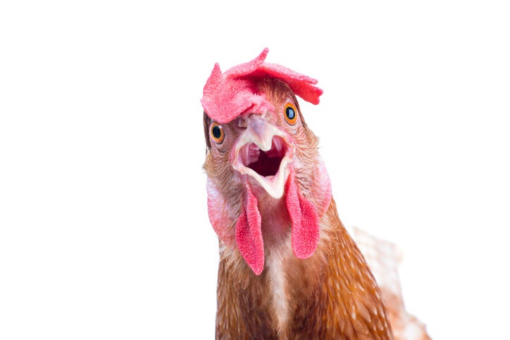 This is a picture of a    rooster .