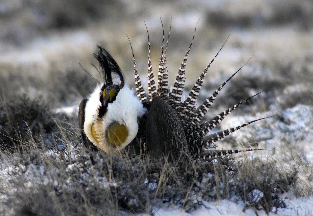 Male Gunnison sage-grouse courtship display. Photo by Helen Richardson, the Denver Post.