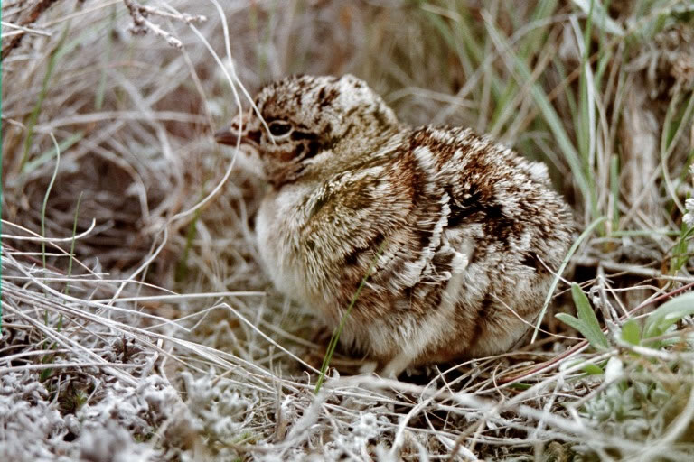 Sage-grouse chick photo by Cameron Aldridge.