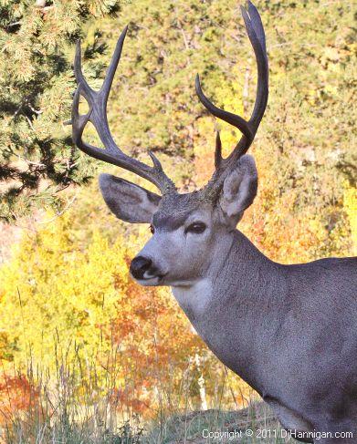 Mule deer buck.jpg