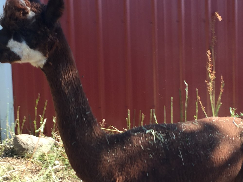 Tamar is so cute! We can't get over her unique coloring on her face. One of our younger girls, we are excited to see her cria this coming spring!