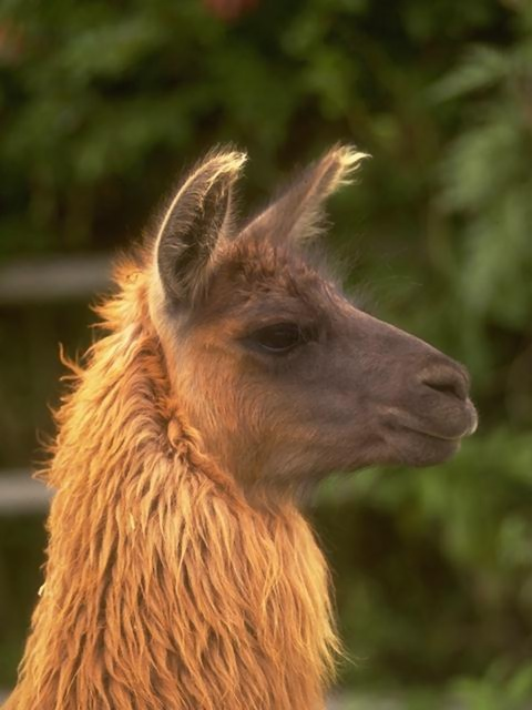 This is an image of a llama. Note the larger head, and banana shapped ears.
