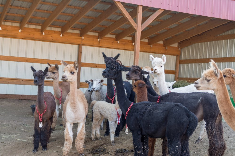 Some of the girls together in the barn.