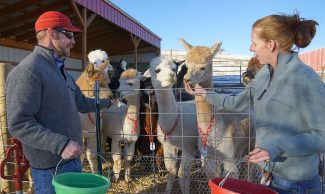 Alpacas love their snack time, and look forward to it daily!