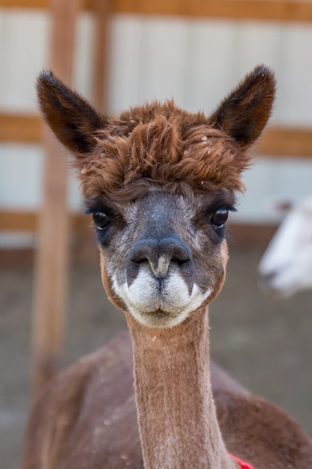 Maggie is a ranch favorite. Her sweet face is adorable and is one of the sweetest on the ranch. Her poof of fiber on her head gives her a unique look that we love. A wonderful mother and fiber producer we couldn't have asked for a better alpaca!