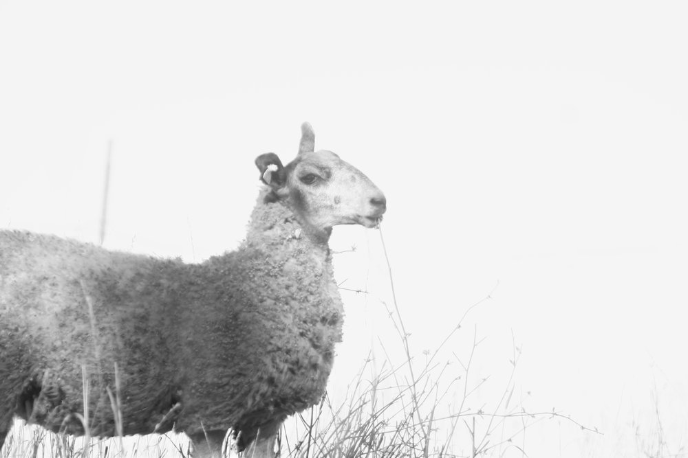Martha is our other sweet lamb on the ranch.She is half BFL and a beautiful dark brown and white coat with an already has an extremely long staple length. She also has yet to be shoren, but we cant wait to see her fiber come spring!
