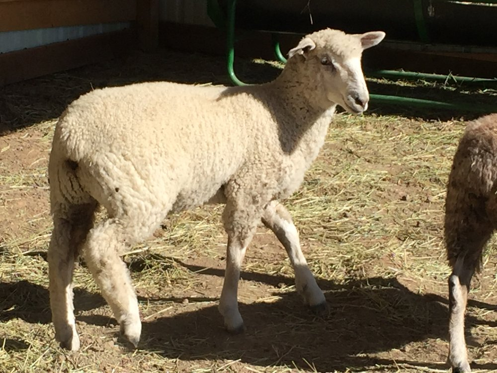 Mary will be your friend for life, if you bring her alfalfa that is! One of our sweet lambs, she is a beautiful cross. We have yet to sheer her, but are excited to see her fiber come spring. It already is showing a beautiful crimp and will be fun to work with!