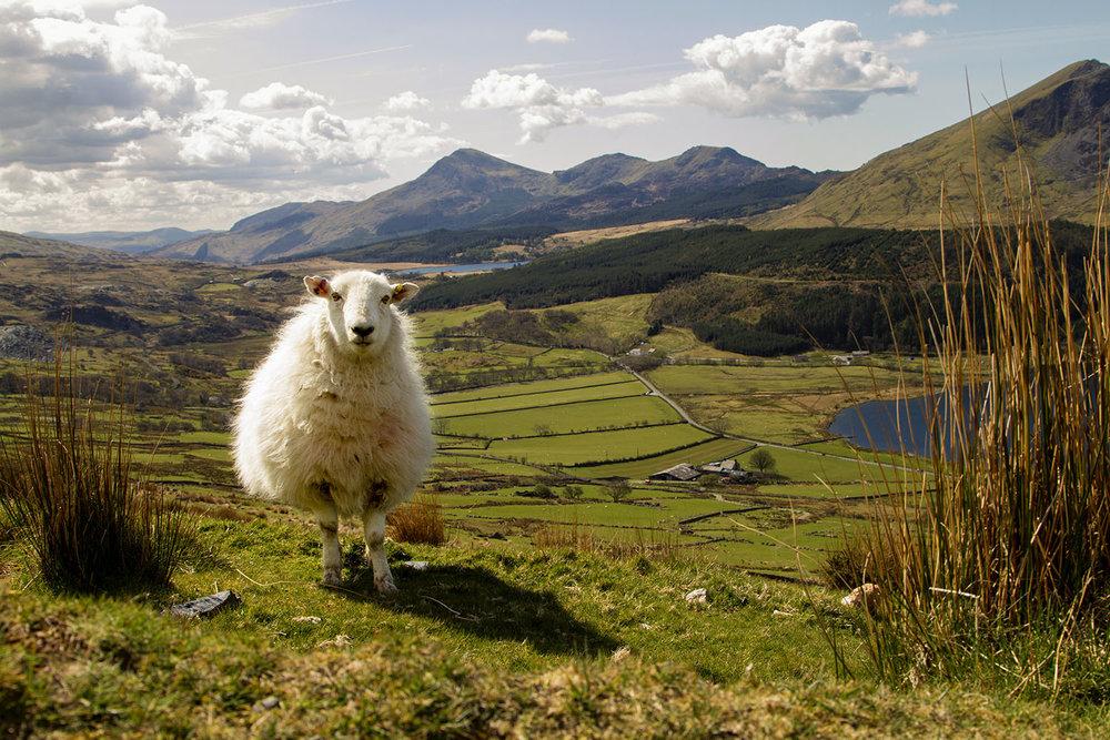 Sheep_Web.jpg