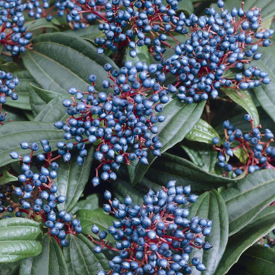 Portland florist highlights best use cases for Viburnum flowers