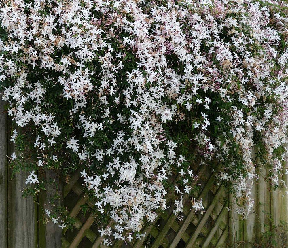 Portland wedding florist loves Jasmine flowers in bridal bouquets