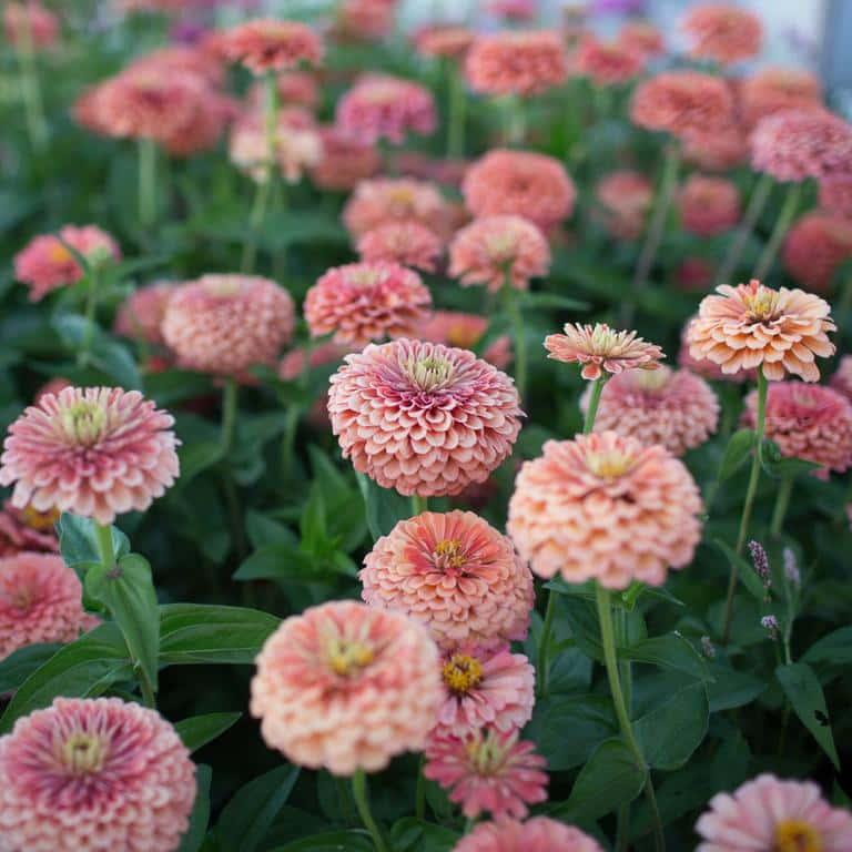Portland florist recommends Zinnia flowers in summer heat