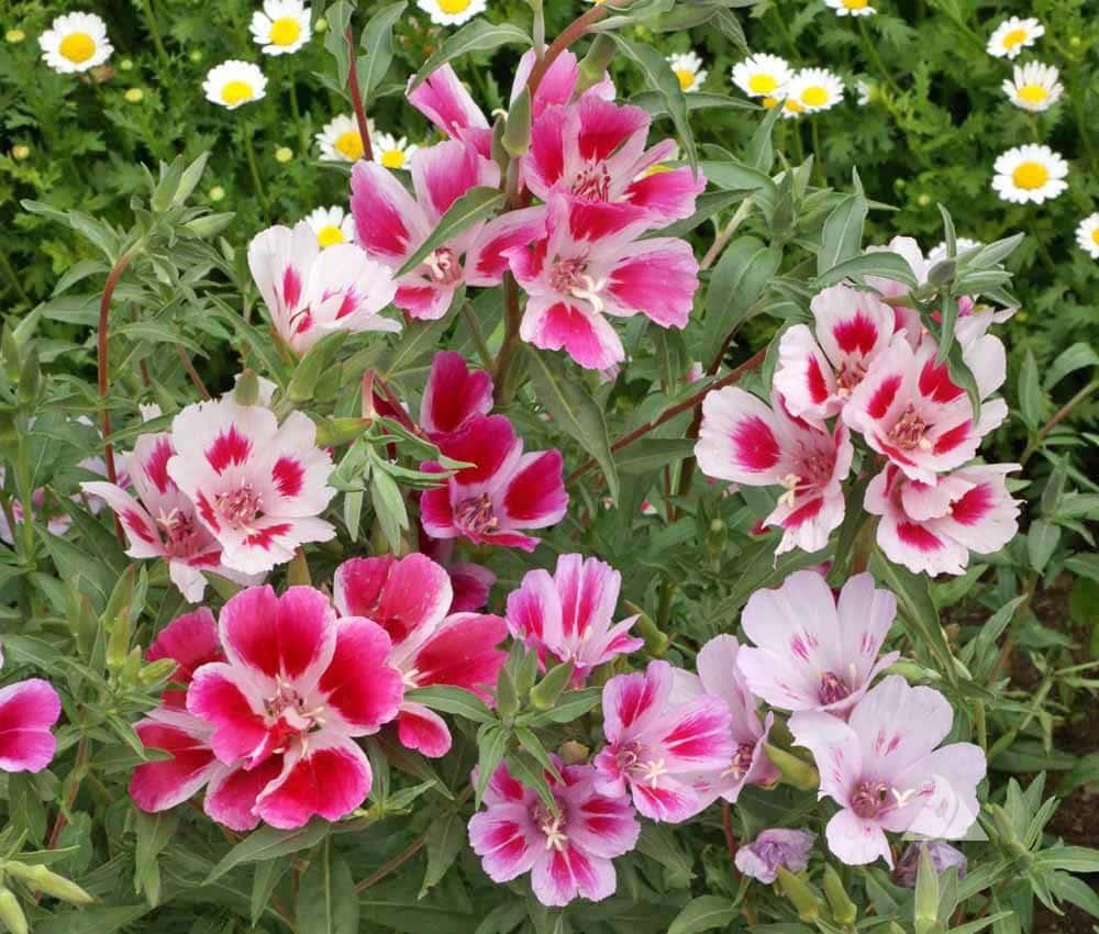 Portland Oregon florist adores Godetia flowers for summer arrangements