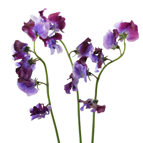 Sweet pea flowers are a summer favorite for this Portland florist