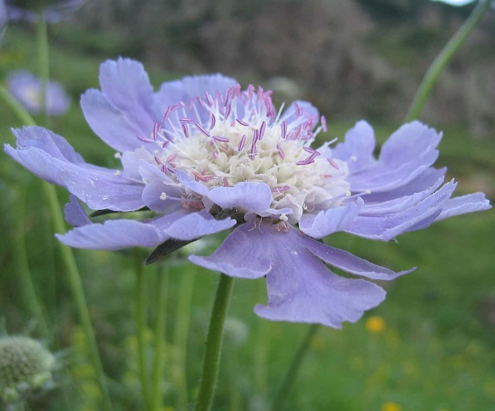 Portland flower shop adds Scabiosa flowers for wild and airy effect