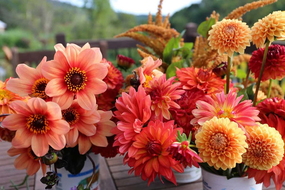 Dahlia flowers are cherished by this Portland Oregon florist