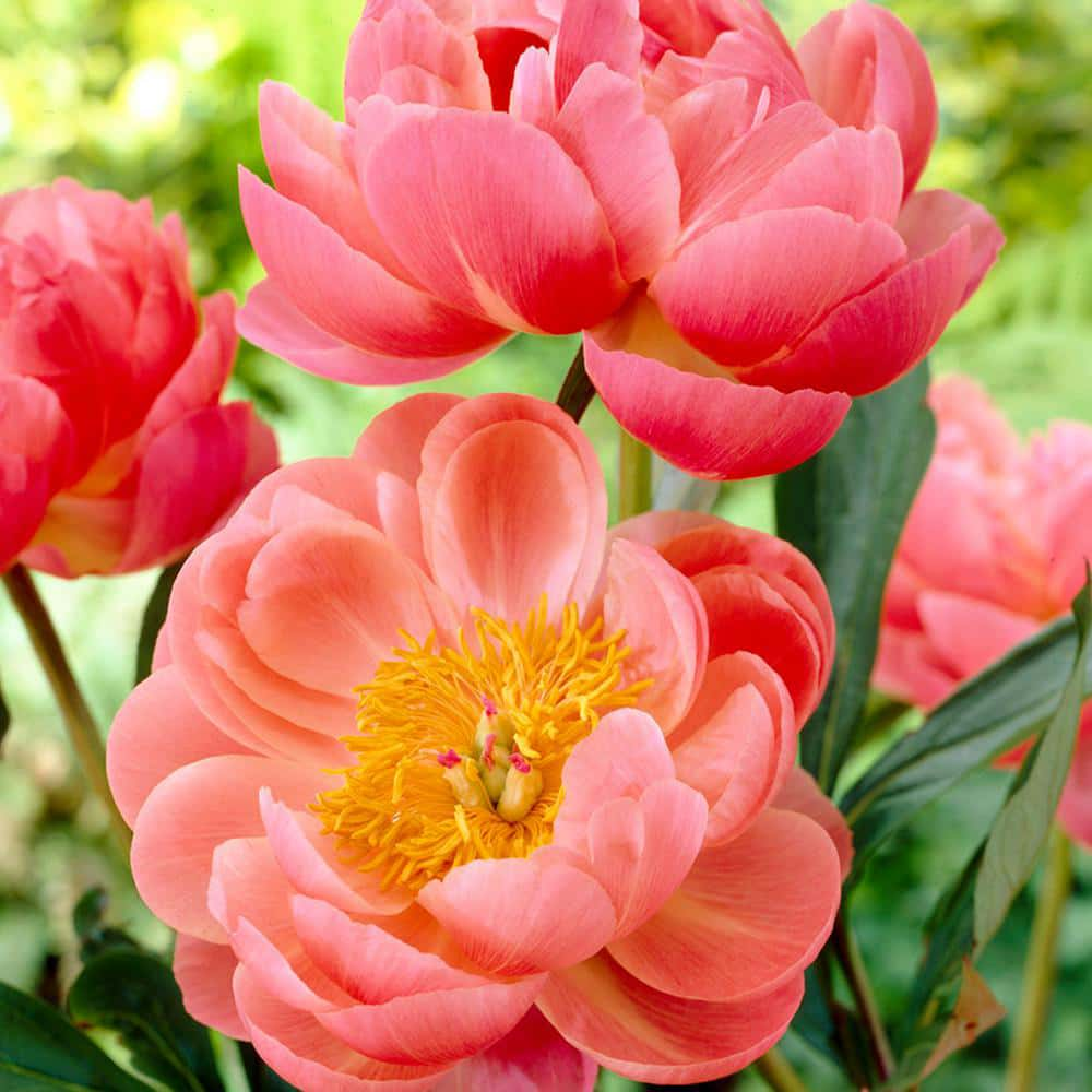 Peonies are a flower favorite for weddings and Portland florists