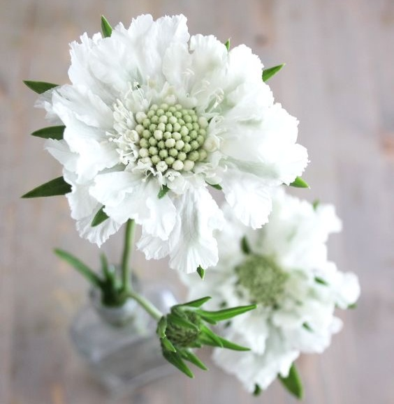 WHITE SCABIOSA - Scabiosa are magnificent blooms which add curious detail and shape to your designs. We preserve the length of the stems, so as to add great depth to our designs - placing them front and center, as though exploding wildly from the vase.