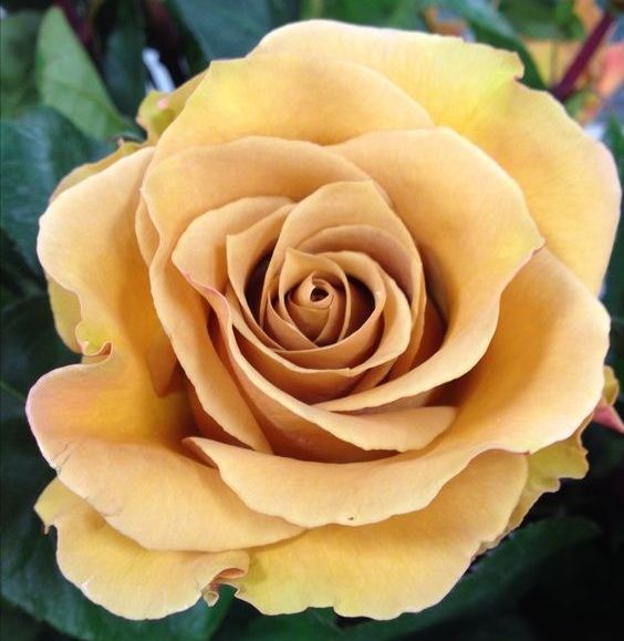COMBO ROSE - The Combo Rose is a true rarity, as the color tones that it radiates are SO DIFFICULT TO FIND. When you want to include a mustard-gold in your wedding, you will almost always need to include one of a very few rose varieties that offer such a tone - the Combo Rose being one of them. They are very hardy, have an immense bloom with thick petals that you can easily reflex, and a long, sturdy stem; all reasons why they are perfect candidates for outdoor weddings and installations!