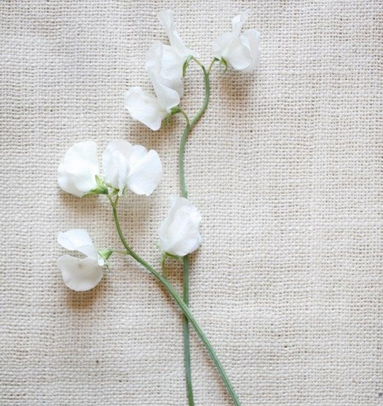 WHITE SWEET PEAS - Sweet peas are an absolute must, when in season. We love using sweet peas in just about any design style - whether it's contemporary and sculptural or for texturizing a traditional design. Wonderful for adding shape to a design or for rendering a softer overall feel. The lengthy, wiry stems can also be used to direct and move the eye about the entirety of your design.