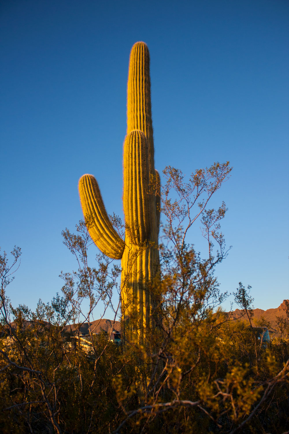 Up close (enough) with the Saguaros.