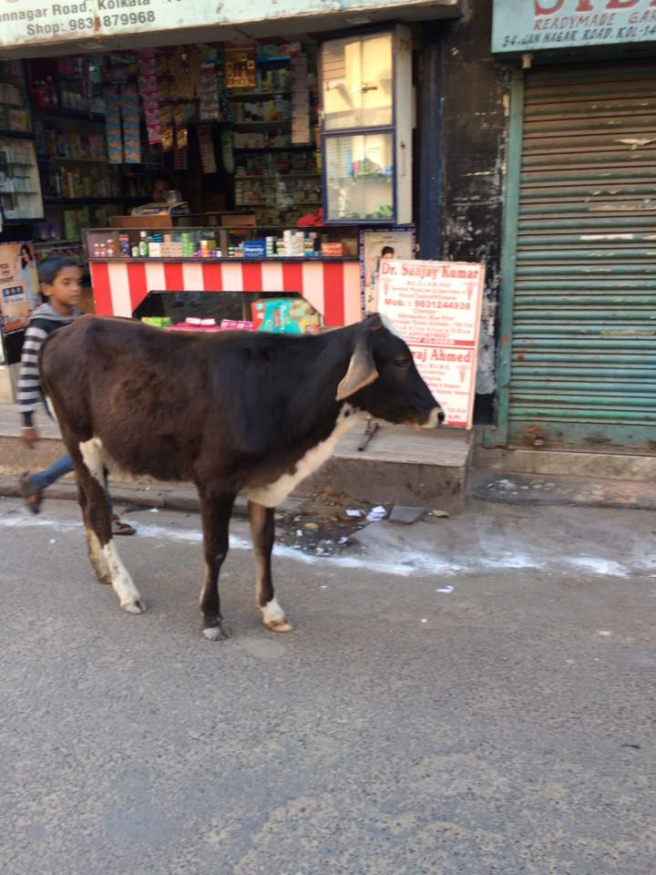 tanya-india-random-cow.jpg