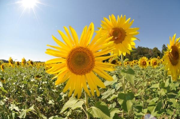 sunflower-1319283_1280.jpg