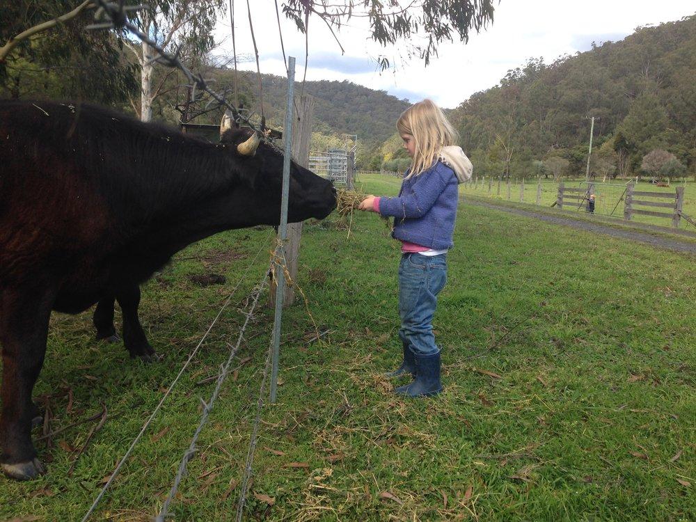 cow through fence.JPG