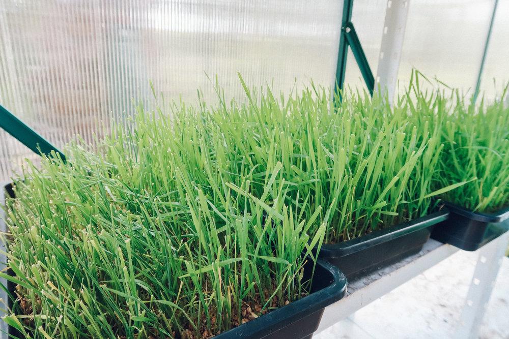 Wheatgrass, Moinhos Velhos,