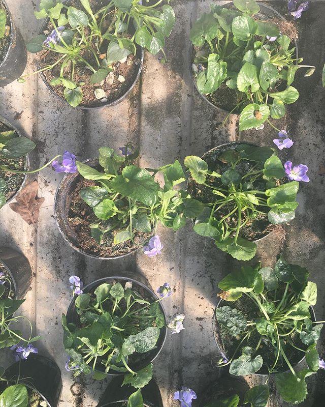 Delicate Violette di Parma at Centrale Della Frutta 💜💜💜
