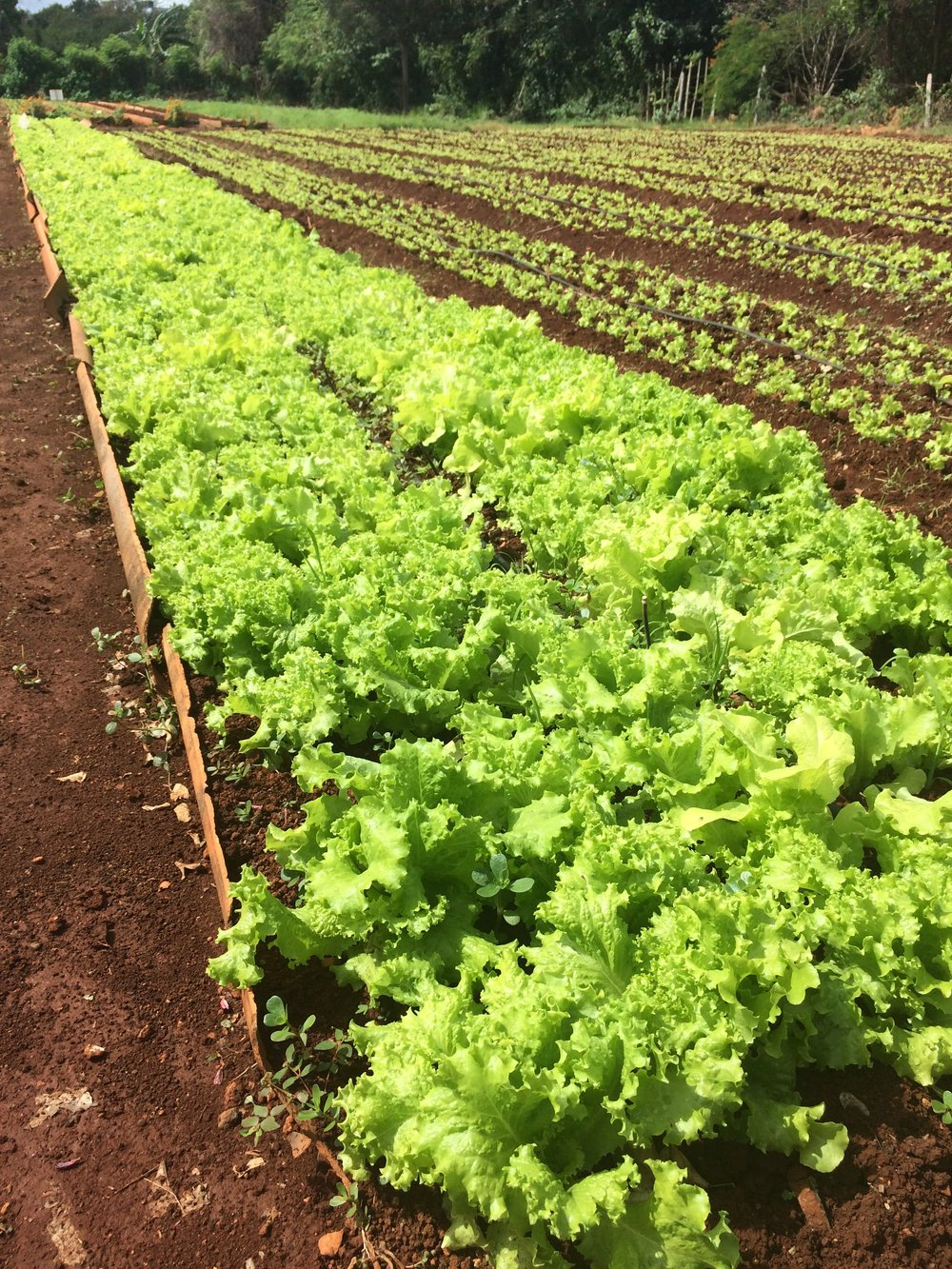 This lettuce -- a luxury in Cuba -- glowed and glimmered in the hot sun of Havana.