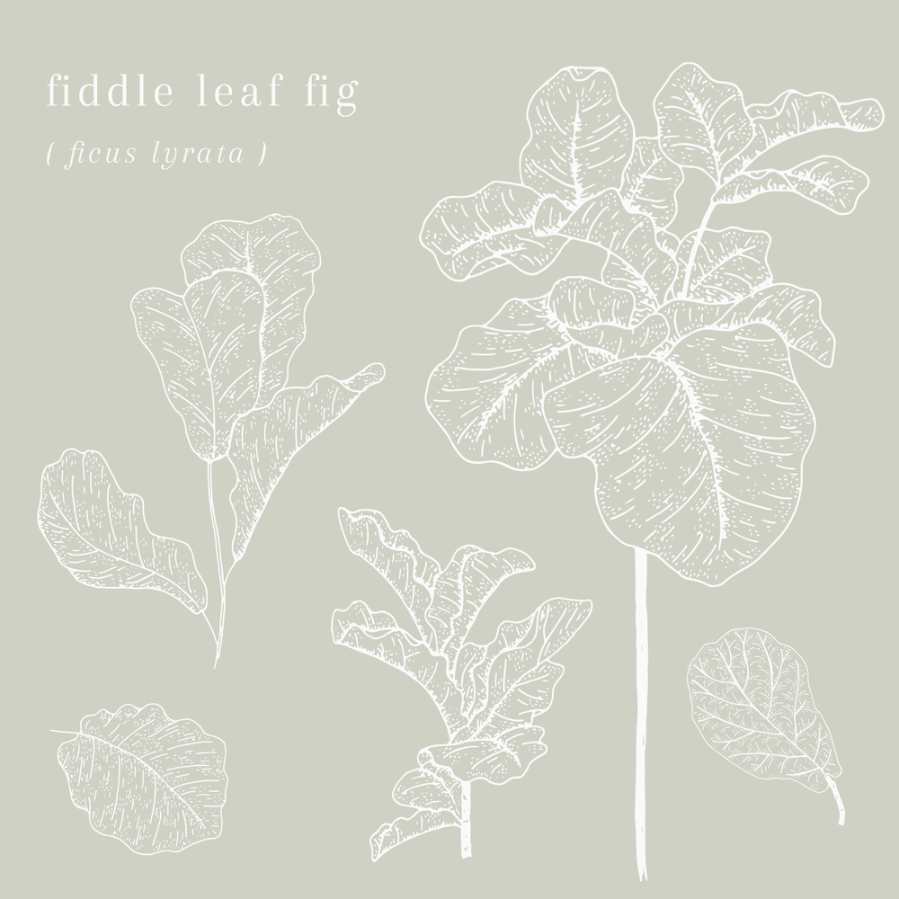 fiddle-leaf-fig.pngFiddle LEaf Fig Plant Illustration - Bea & Bloom Creative Design Studio