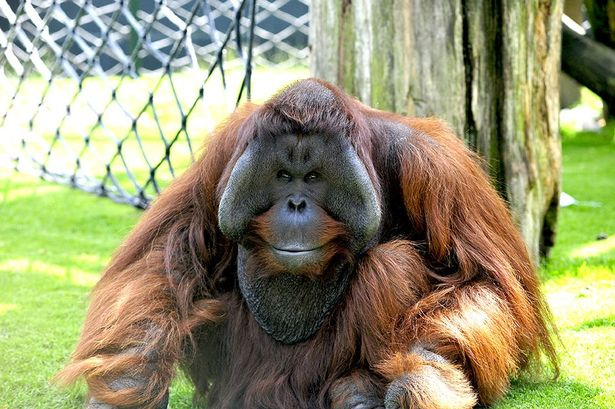Batu-the-orangutan_credit-Twycross-Zoo.jpg