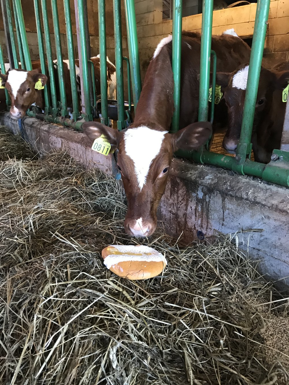 "One of my favorite moments from feeding the cows during the summer was giving them little treats like this. This of course is a ""sometime food"" as the Cookie Monster would say."