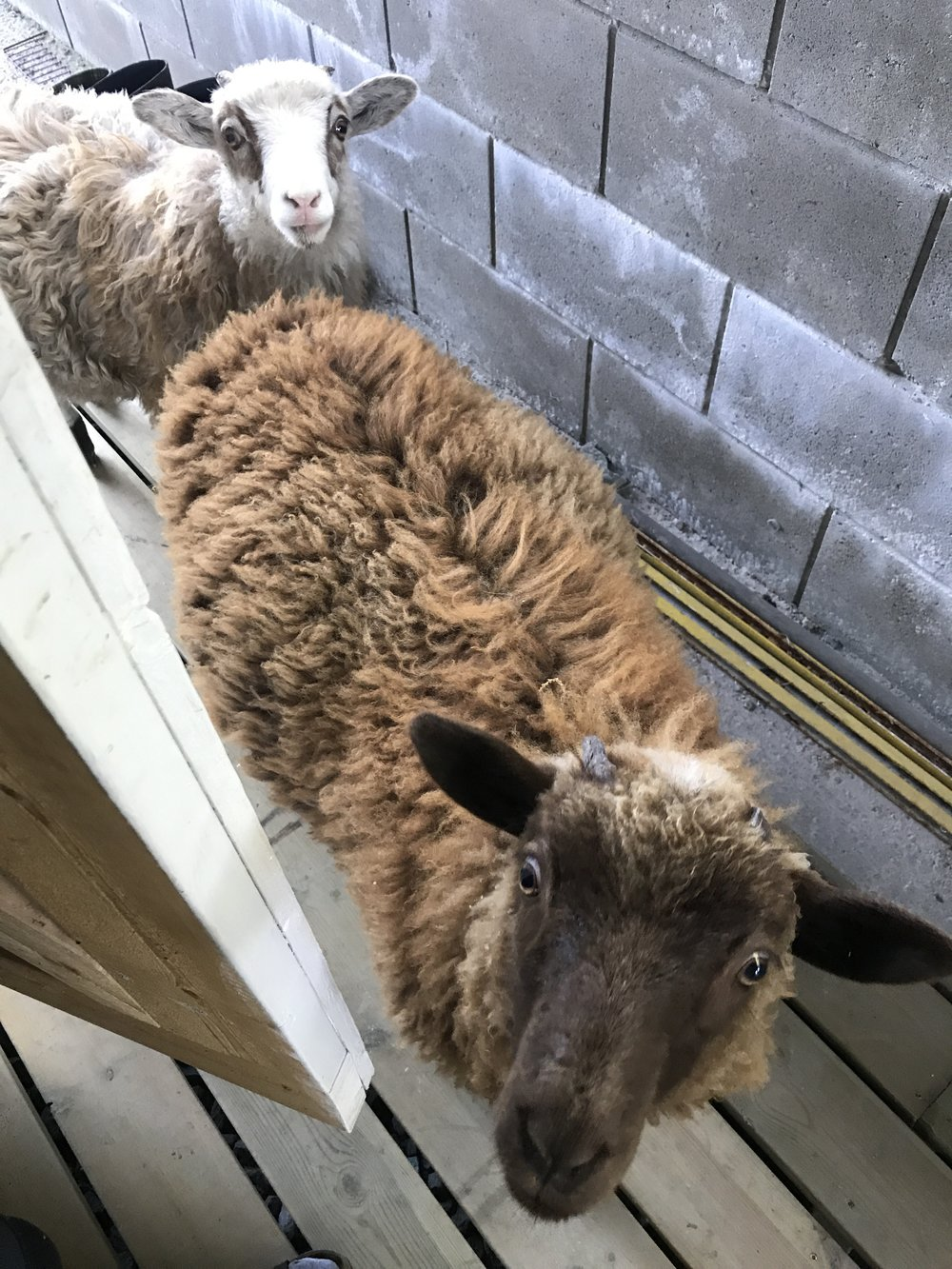 Since I'm currently working on my husbandry placement report, I don't have any relevant pictures to share. So here's a picture of the farm's two bottle-fed lambs that I thought perhaps you'd enjoy.