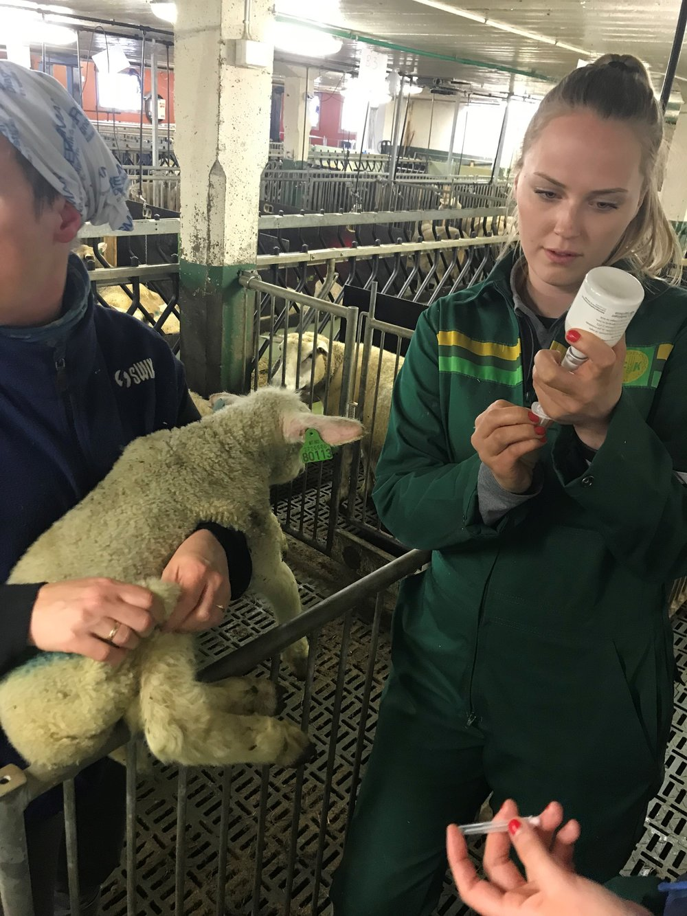 Johanne administering penicillin to one of the lambs