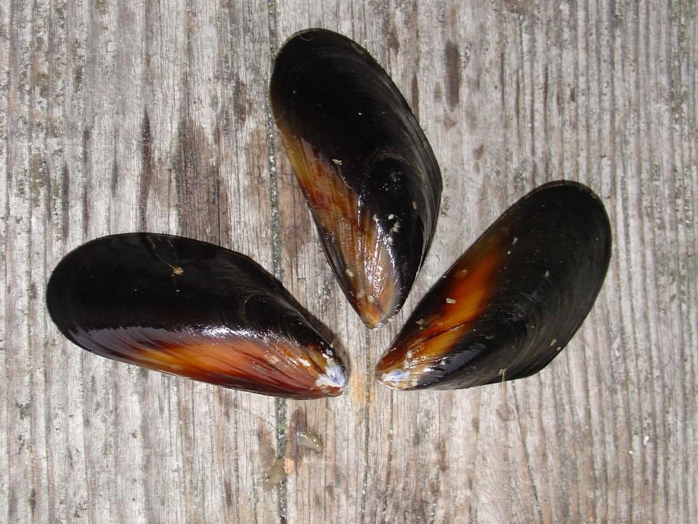 Mediterranean Mussels.JPG