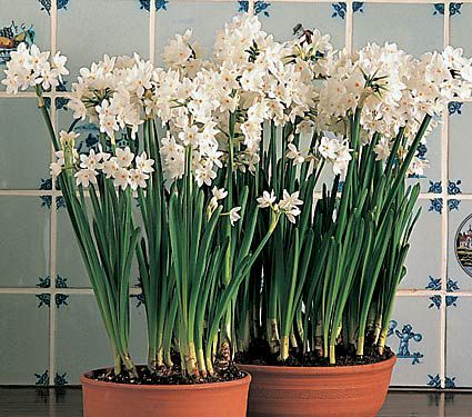 Timely tips paperwhites photo courtesy of white flower farm mightylinksfo