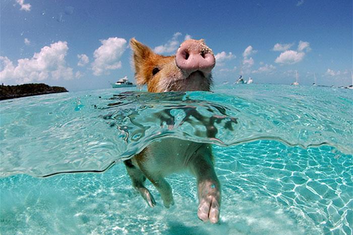 Swimming Pig.jpg