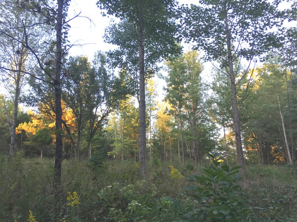 A highly competitive early successional forest after regenerative forest thinning services by Thriving Earth Farm and Development.