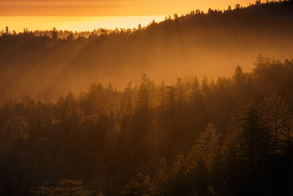 Mist through the Redwoods, by: Tom Post