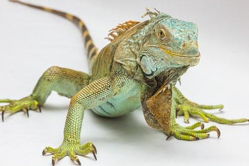 iguana-1057830__340.jpg