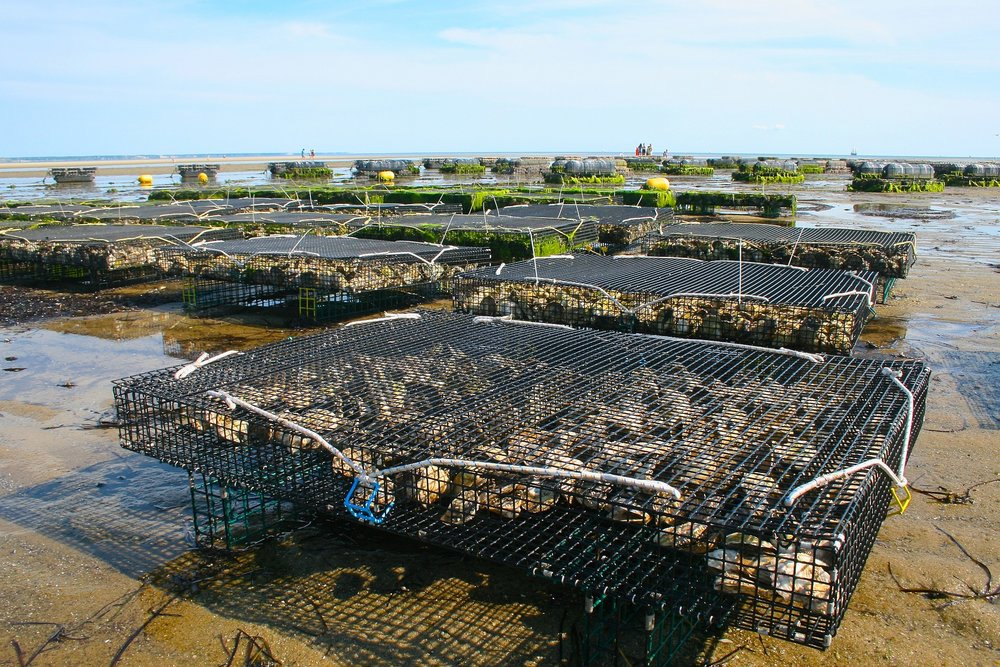 Oyster Beds in Brittany, France