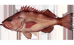 Rockfish (Pacific Ocean Perch)